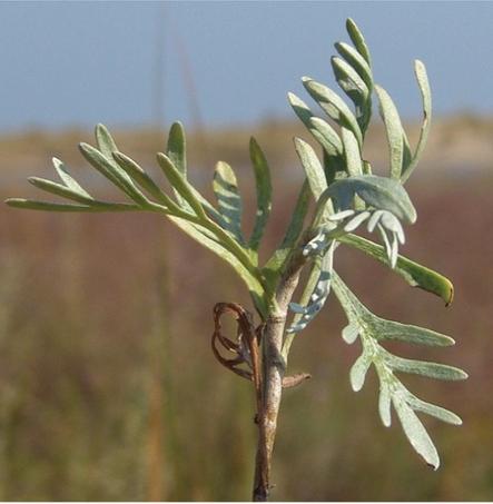 L'Artemisia torna in Sentina