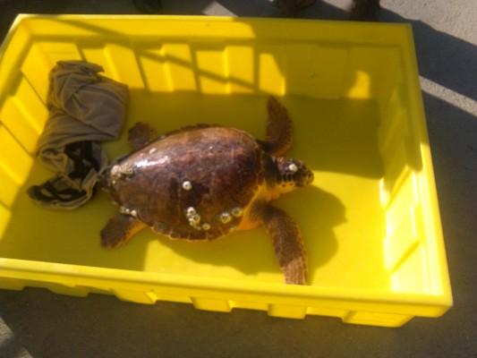 """La tartaruga """"Nik"""" salvata al largo di San Benedetto da """"Eco1"""""""