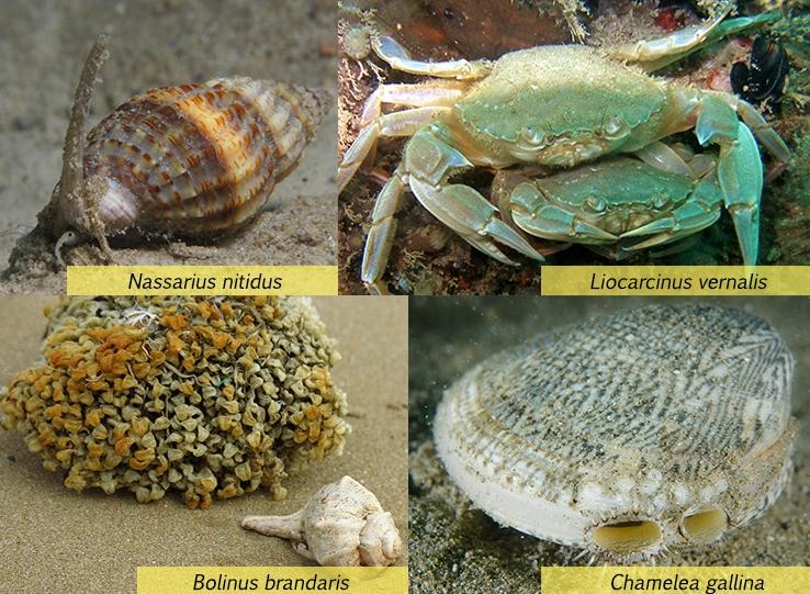 Alcune specie rinvenibili nei fondali antistanti la Sentina