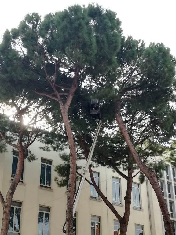 Due fasi della rimozione dei pini dal cortile della scuola