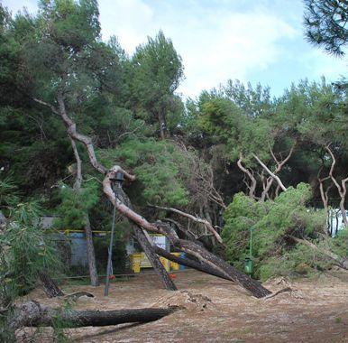 Maltempo, il vento fa strage di pini in tutta la città