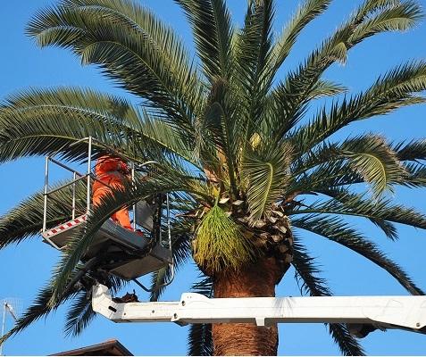 Al via la piantumazione di circa 40 palme sul lungomare