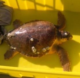 Soccorsa una tartaruga marina al largo di San Benedetto